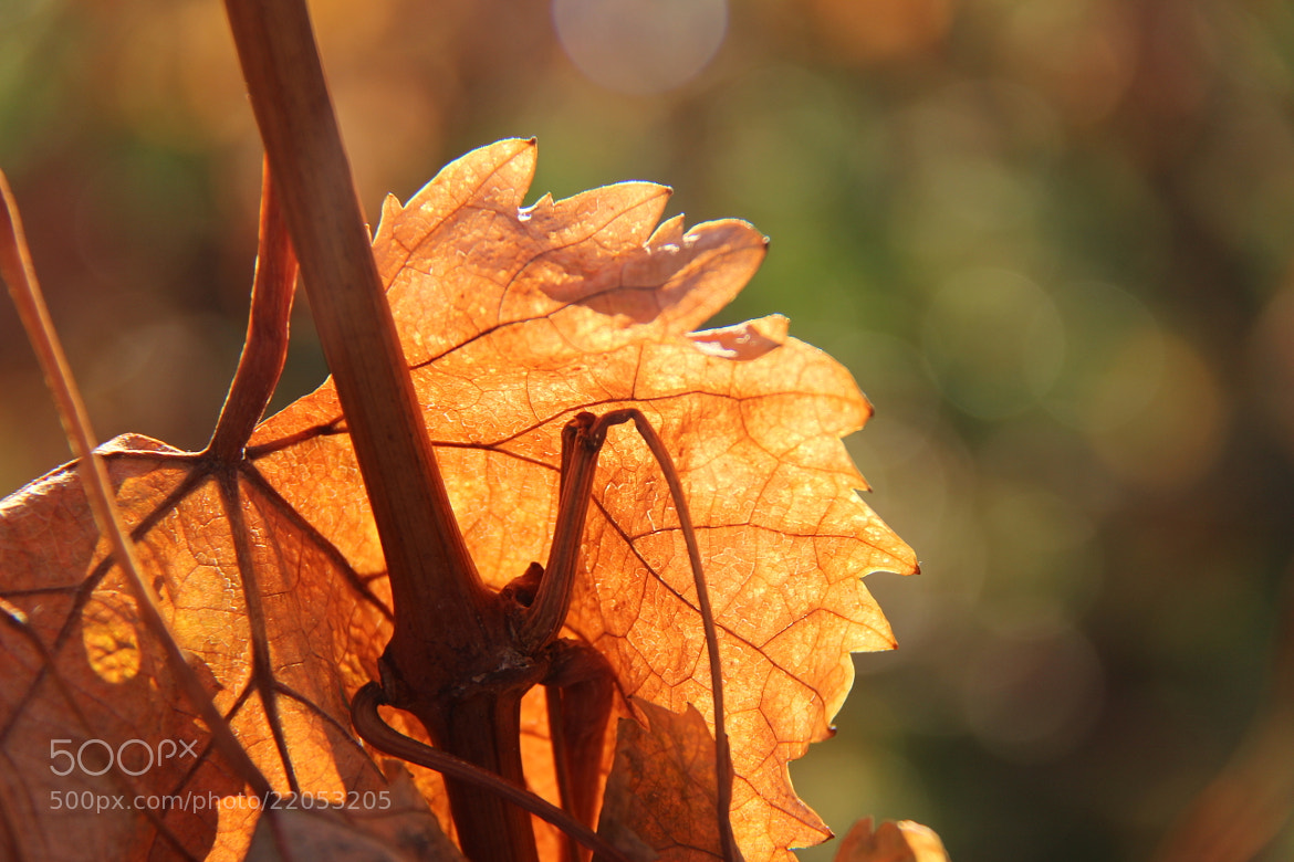 Photograph Illuminated Golden Leaf by John Win on 500px