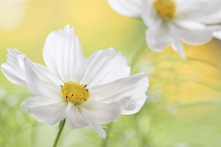 Cosmos by Jane Dibnah on 500px.com