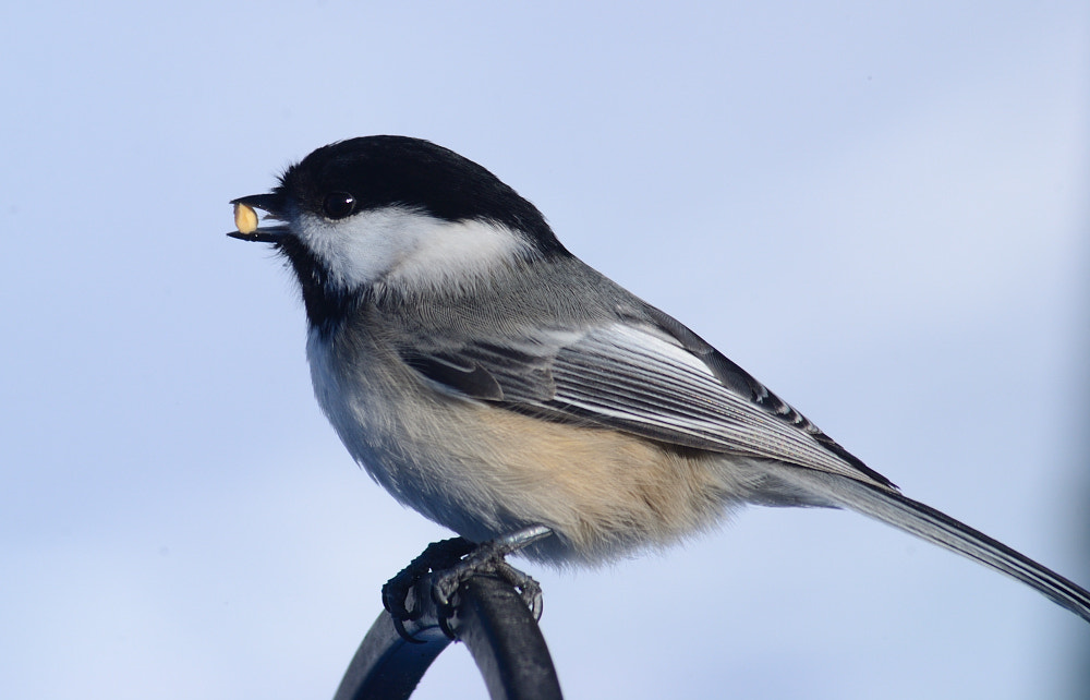 Photograph Chickadee by Anastasia Hill on 500px