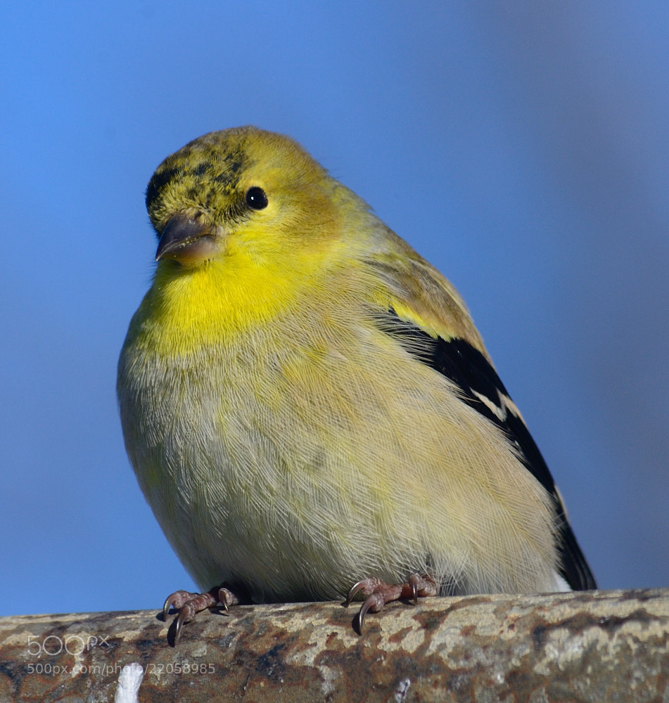 Photograph Gold Finch by Anastasia Hill on 500px