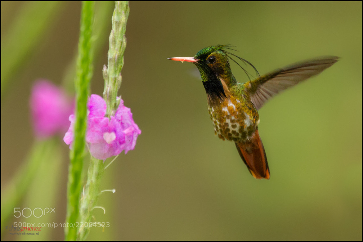 Photograph Black-crested Coquette by Chris Jimenez on 500px