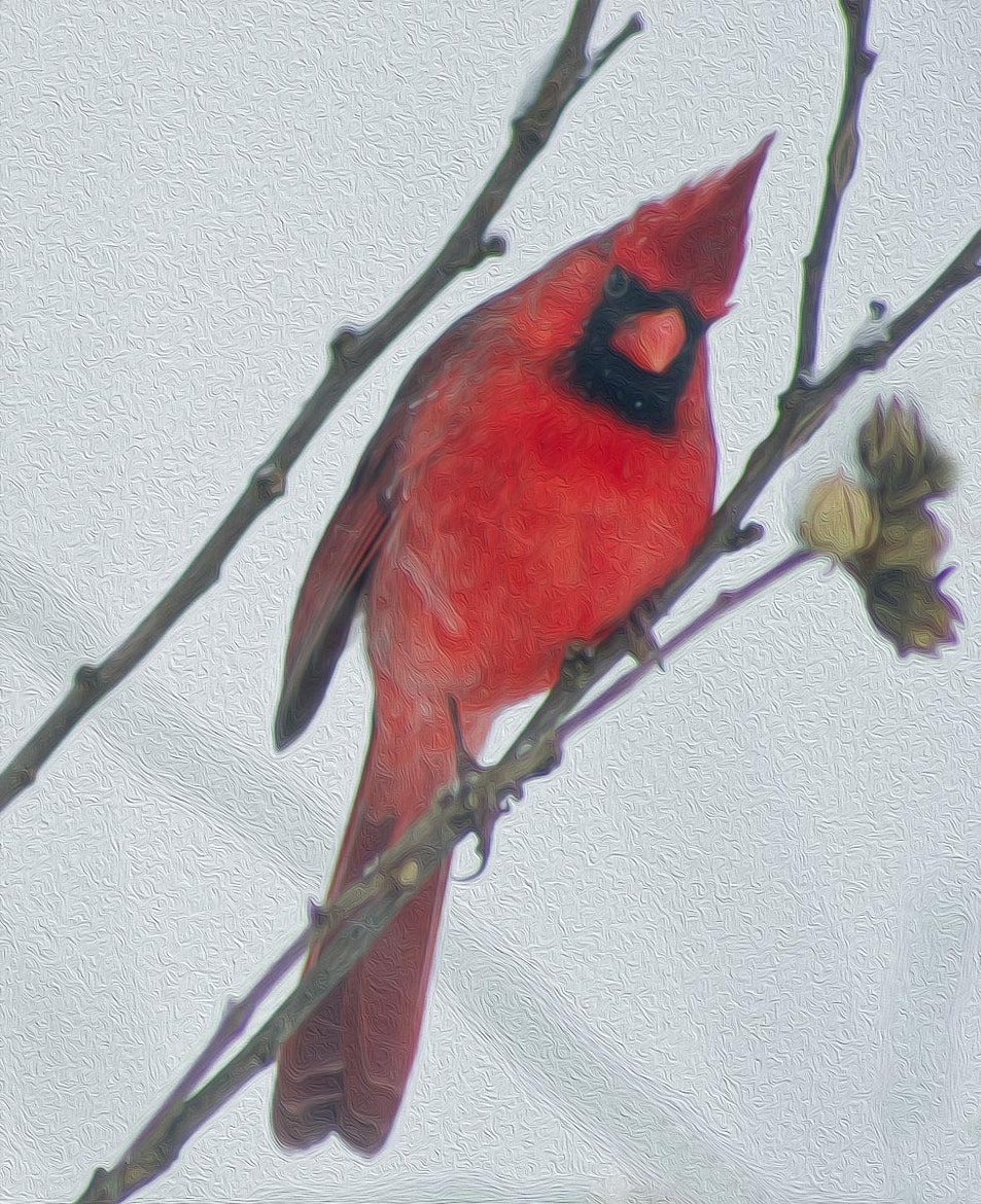 Photograph Male Cardinal in Winter by Ort Baldauf on 500px