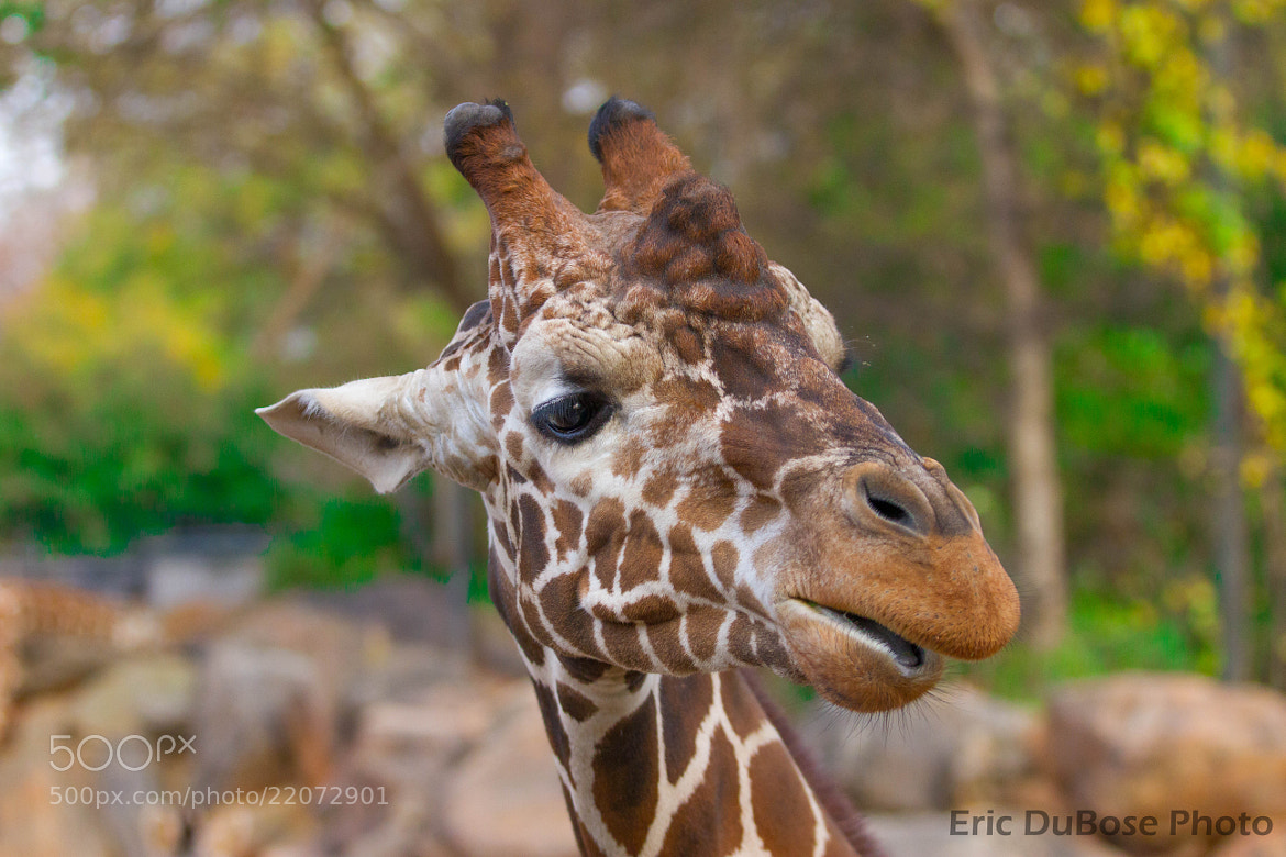Photograph Giraffe @ Atlanta Zoo by Eric DuBose on 500px