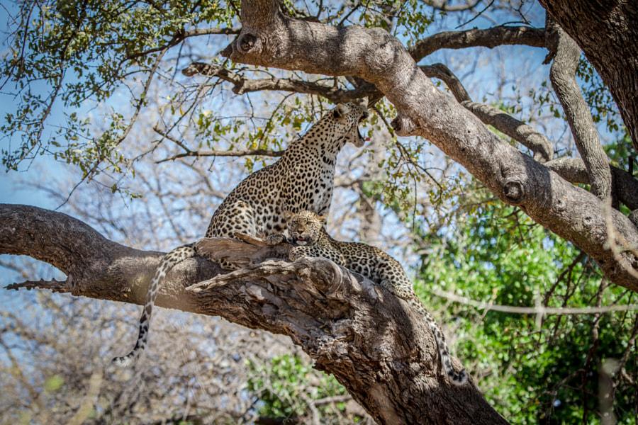 Botswana Lepards