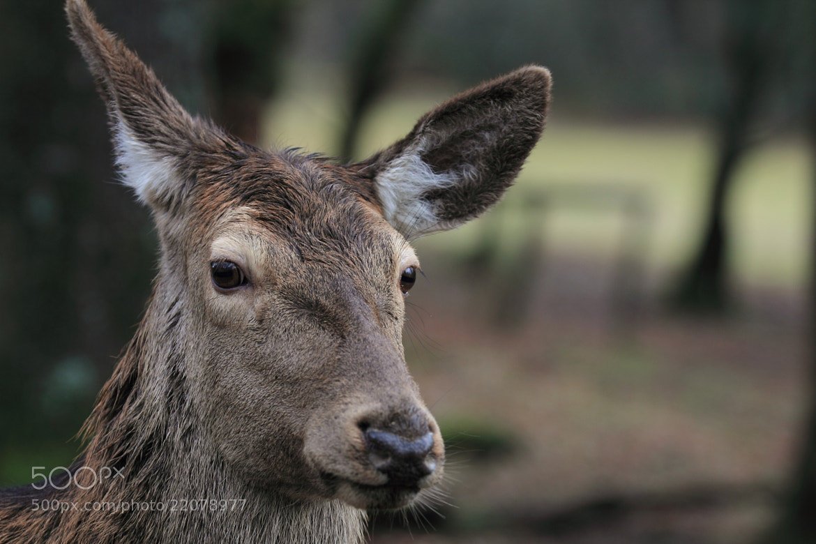 Photograph Sika Deer by Eva Lechner on 500px