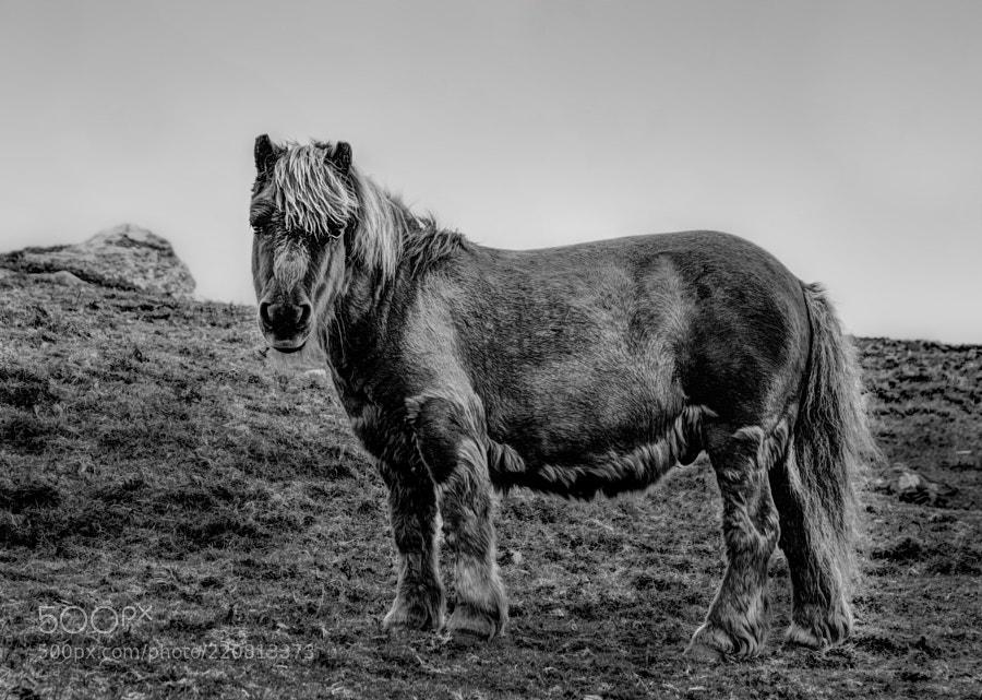 Shetland pony at East Burra, Shetland.