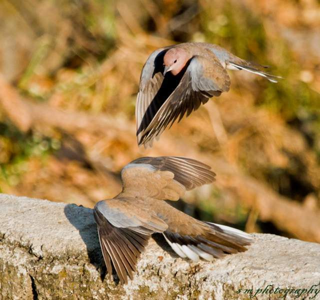 Photograph Laughing Dove by Santosh Mulik on 500px