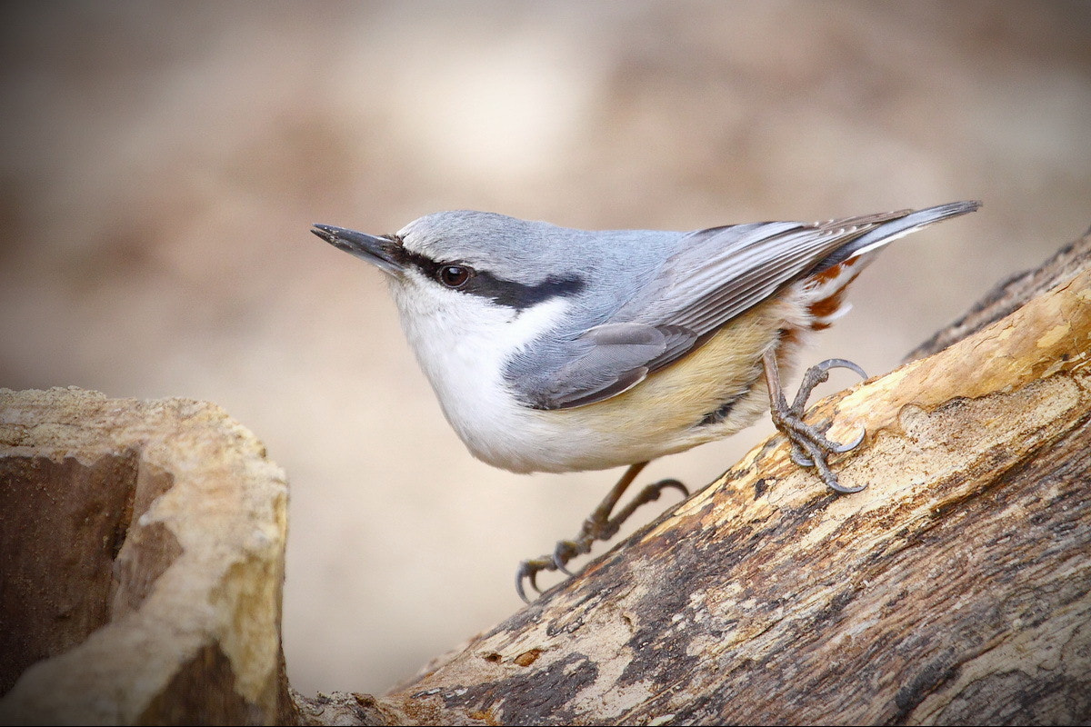 Photograph Nuthatch by Young J Park on 500px