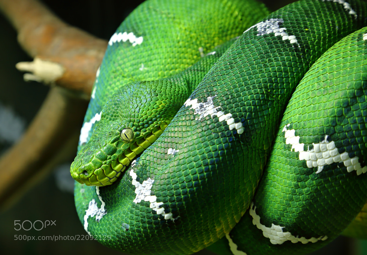 Photograph Emerald Tree Boa by Lorraine Hudgins on 500px