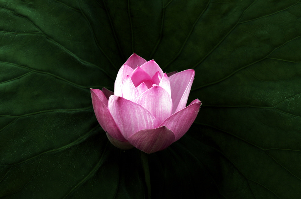 Photograph Lotus flower by Jin-Gu Lee on 500px