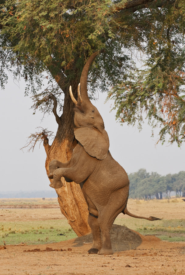 This behaviour is apprently often seen in Mana Pools, Zimbabwe. The Elephant is shaking seed pods from the tree, 14th September 2011.