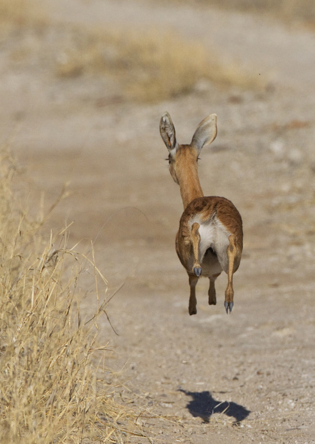 With Apologies to Jack. A Steenbok makes a hasty exit on the road between Manga and Ngweshla, Hwange National Park, Zimbabwe, 3rd September 2011