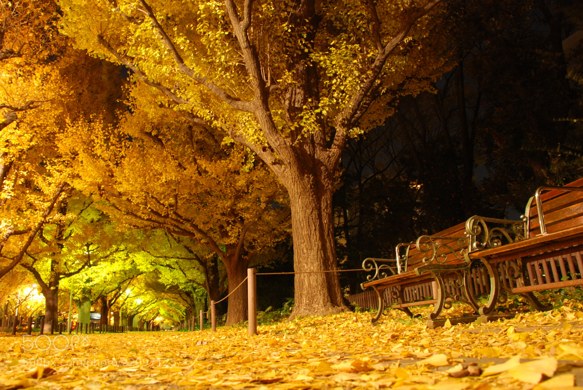 Photograph Ginkgo trees by night by T.Y.O.  on 500px