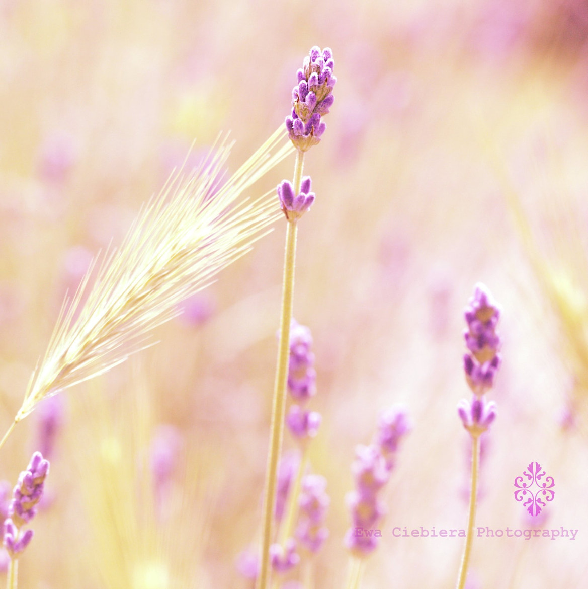 Photograph Lavender and .... by EWA CIEBIERA on 500px