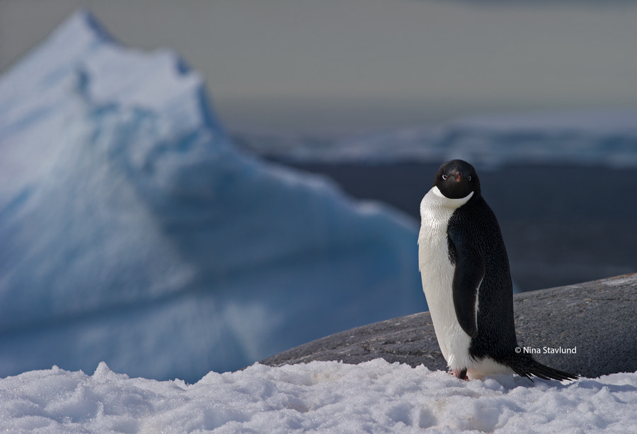 Photograph Adelie Penguin by Nina Stavlund on 500px