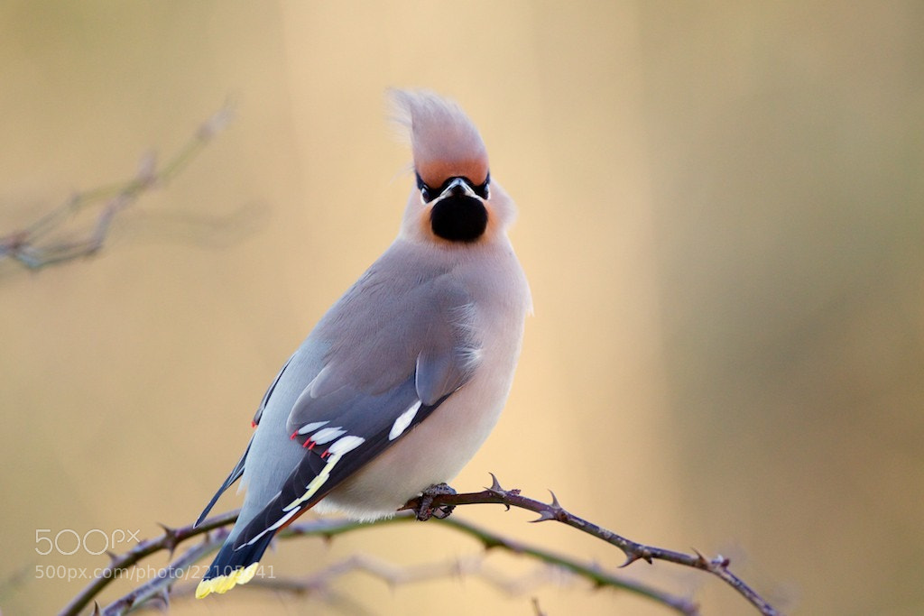 """Photograph """"Something About Waxwings"""" by David Featherbe on 500px"""