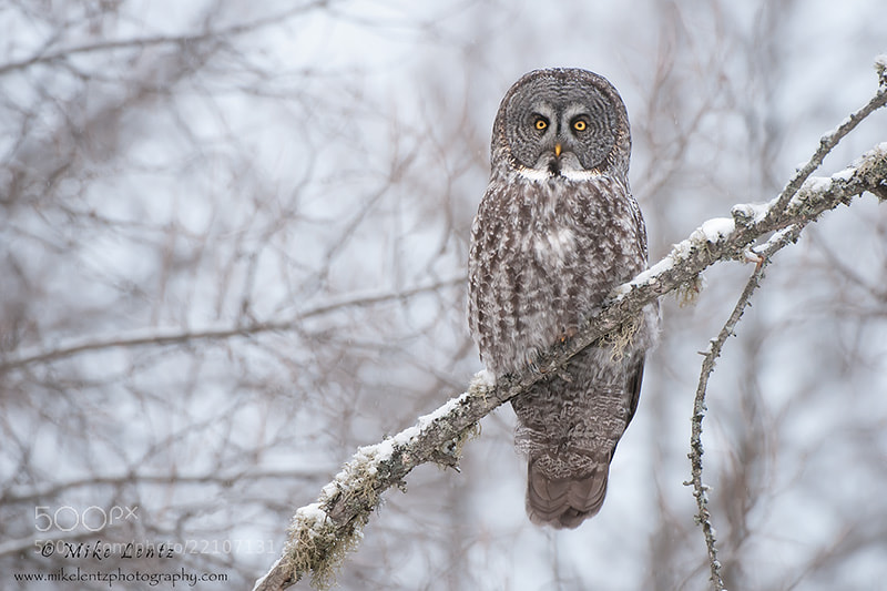 Photograph Portrait of the Great Gray owl by Mike  Lentz on 500px
