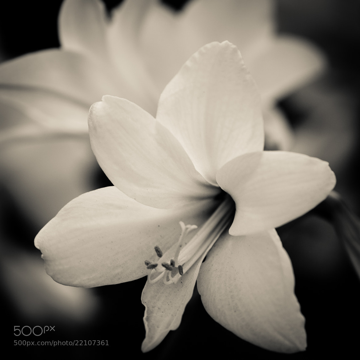 Photograph Lily by Paul Nguyen on 500px