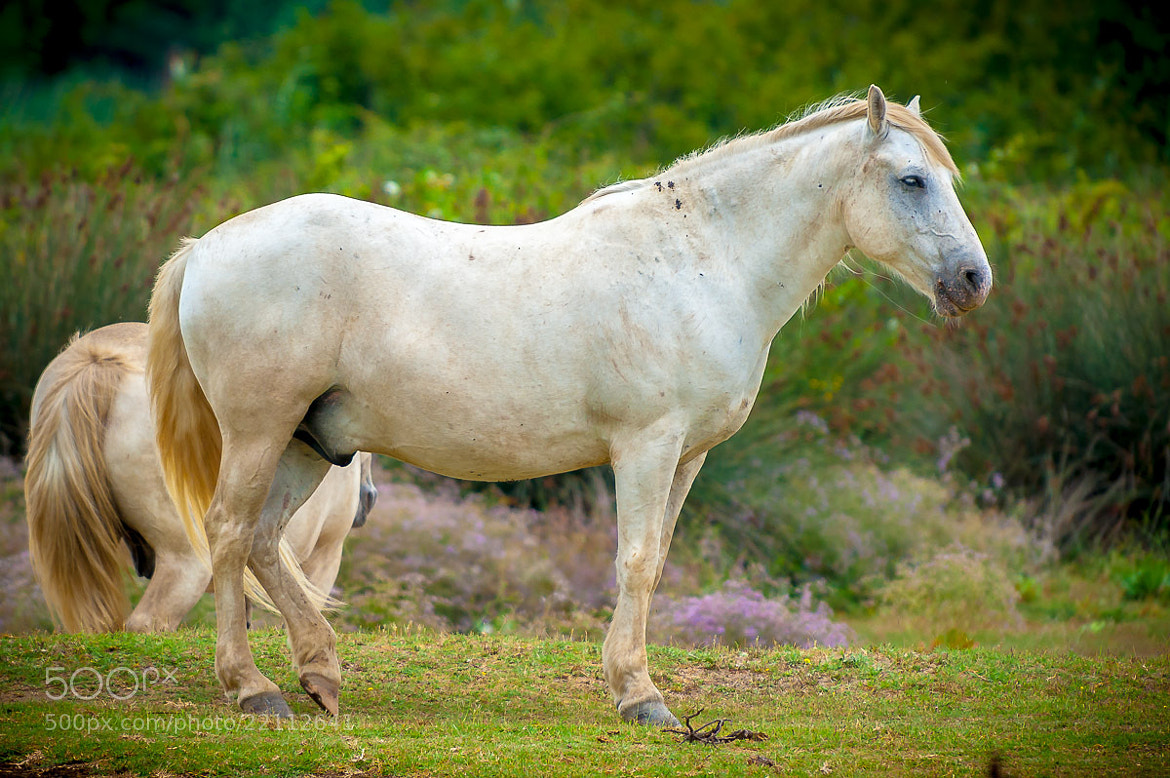 Photograph Camargue Horse by Antonio Cerri on 500px