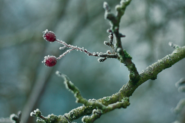 Photograph Winter Berries by Jill Harrison on 500px
