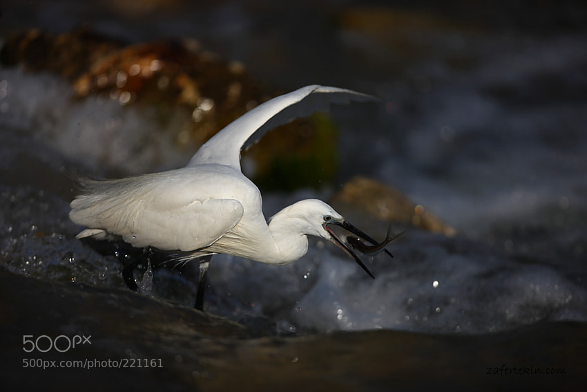 Photograph  Küçük ak balıkçıl / Egretta garzetta / Little egret by Zafer Tekin on 500px