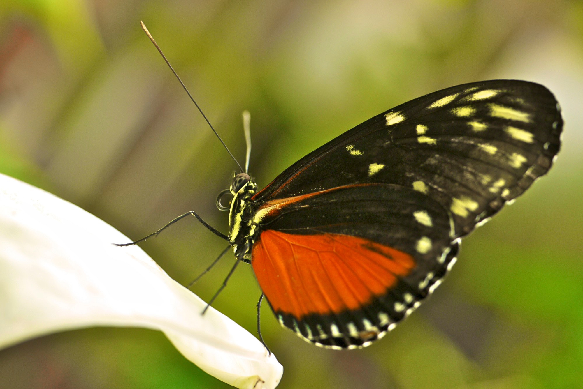 Photograph Hecale's Longwing by John Purchase on 500px