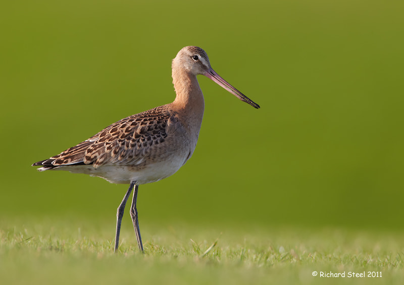 Photograph Young Godwit by Richard Steel on 500px