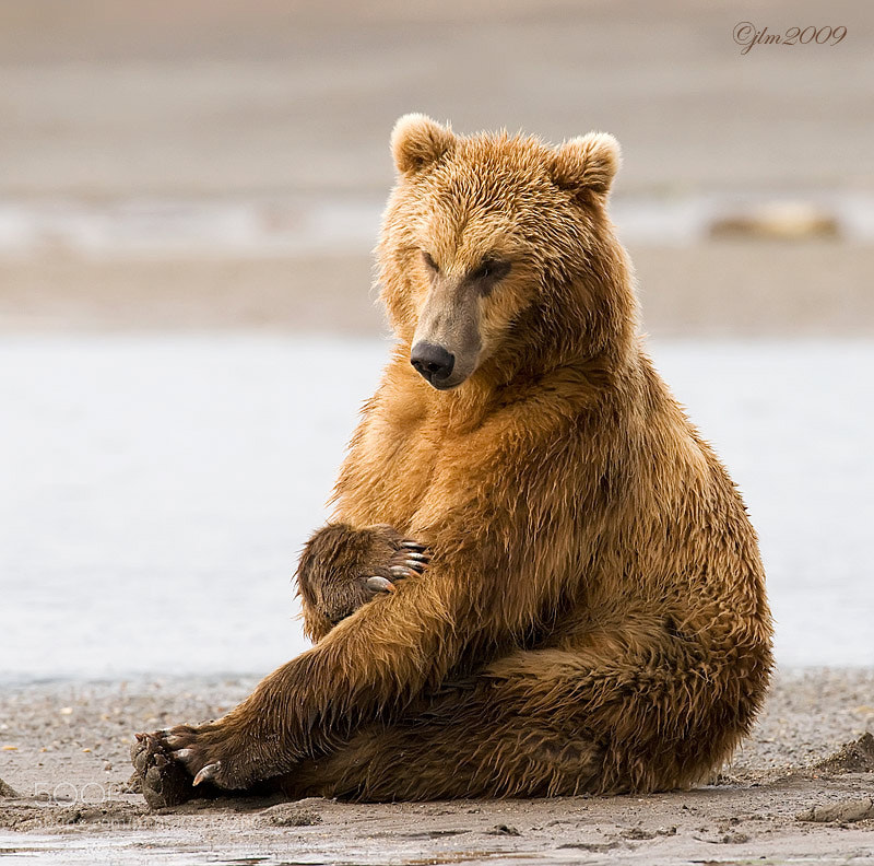 This is another image from Katmai.  We came across a sleeping grizzly along the beach and when he woke up he sat straight up almost like we would do.  Then after a second or two moved off.  It is so interesting to watch their behavior.