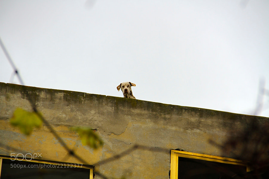 Bazaar Dog by Michael Hafner (Michael-Hafner)) on 500px.com