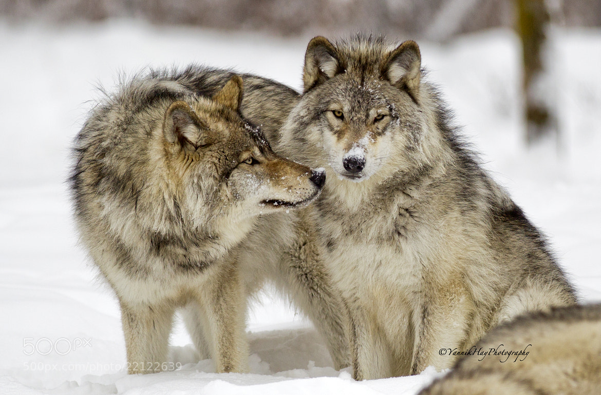 Photograph Timber Wolves by Yannik Hay on 500px