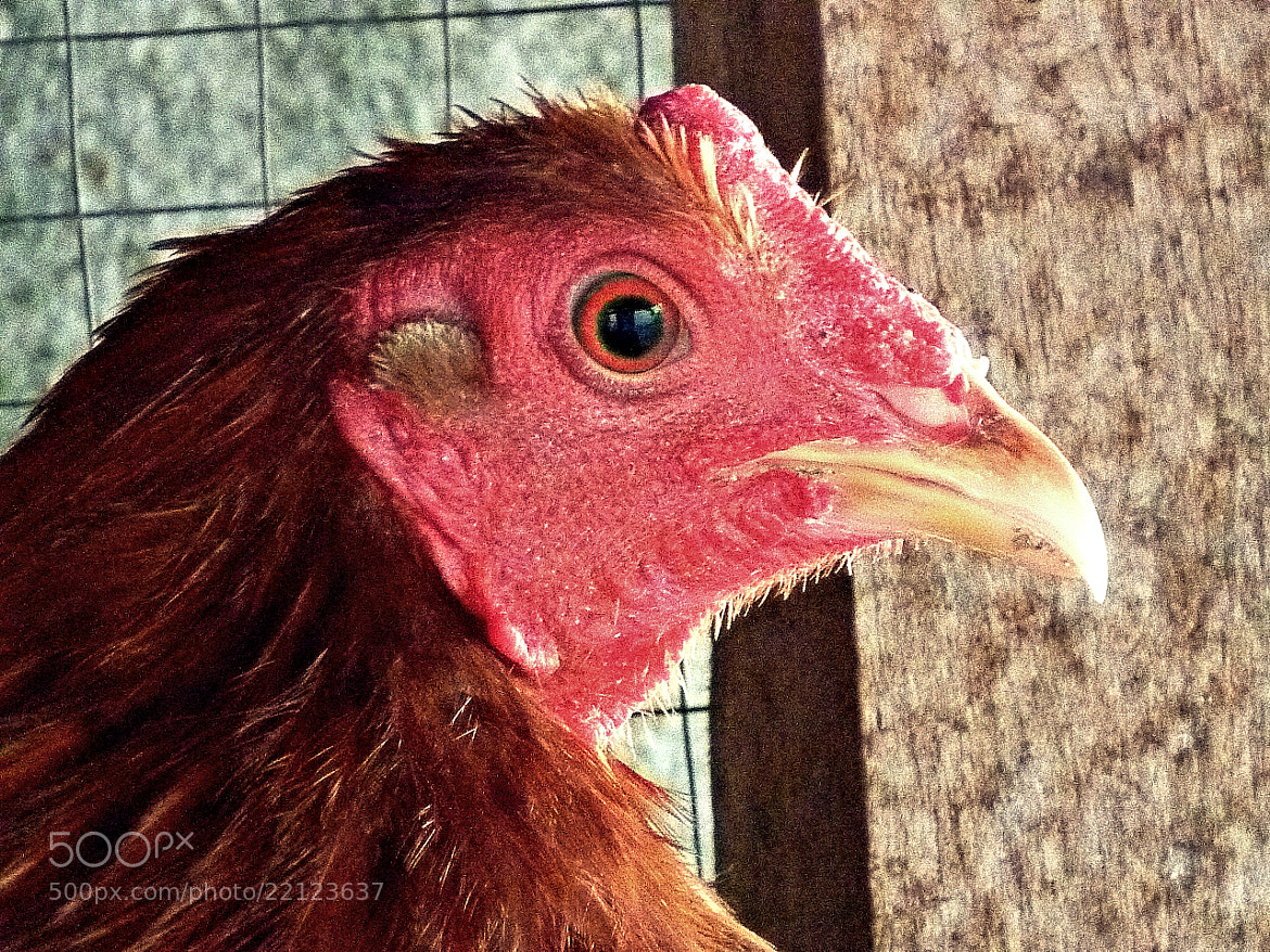 Photograph Rooster Fight by Jairo Villalobos on 500px