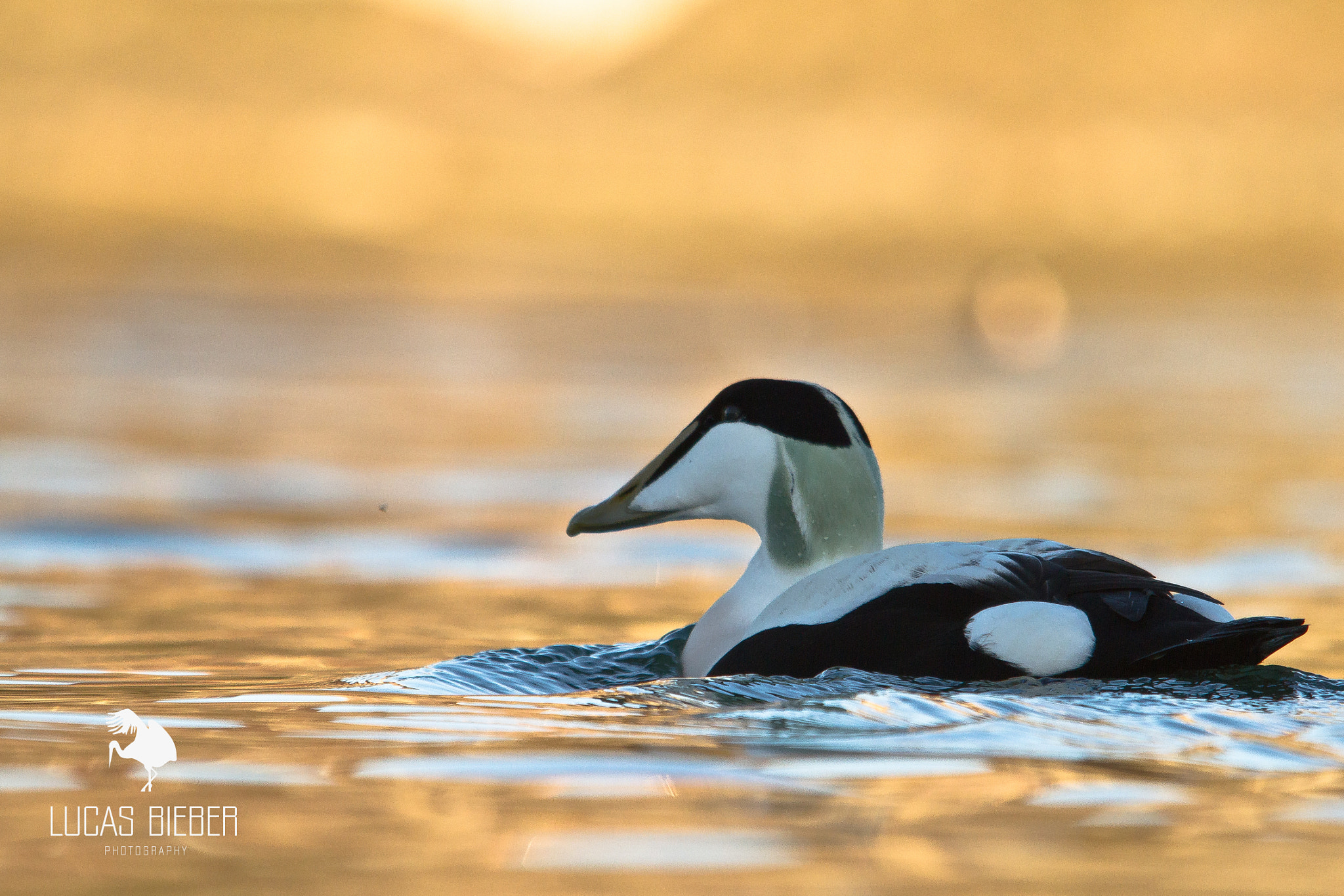 Photograph Eider à duvet by Lucas Bieber on 500px