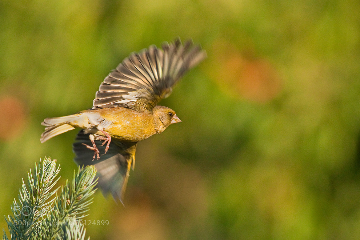 Photograph Carduelis chloris by Richard Krchnak on 500px
