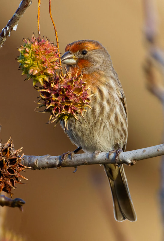 Photograph House Finch by Jon Miller on 500px