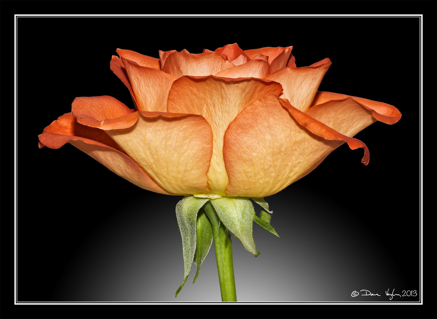 Photograph Rose by David Vaughan on 500px