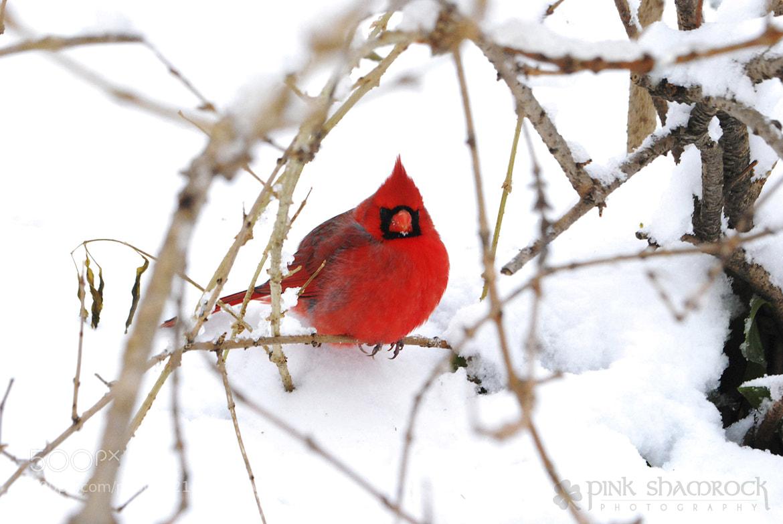 Photograph Winter Cardinal by Erin Duke on 500px