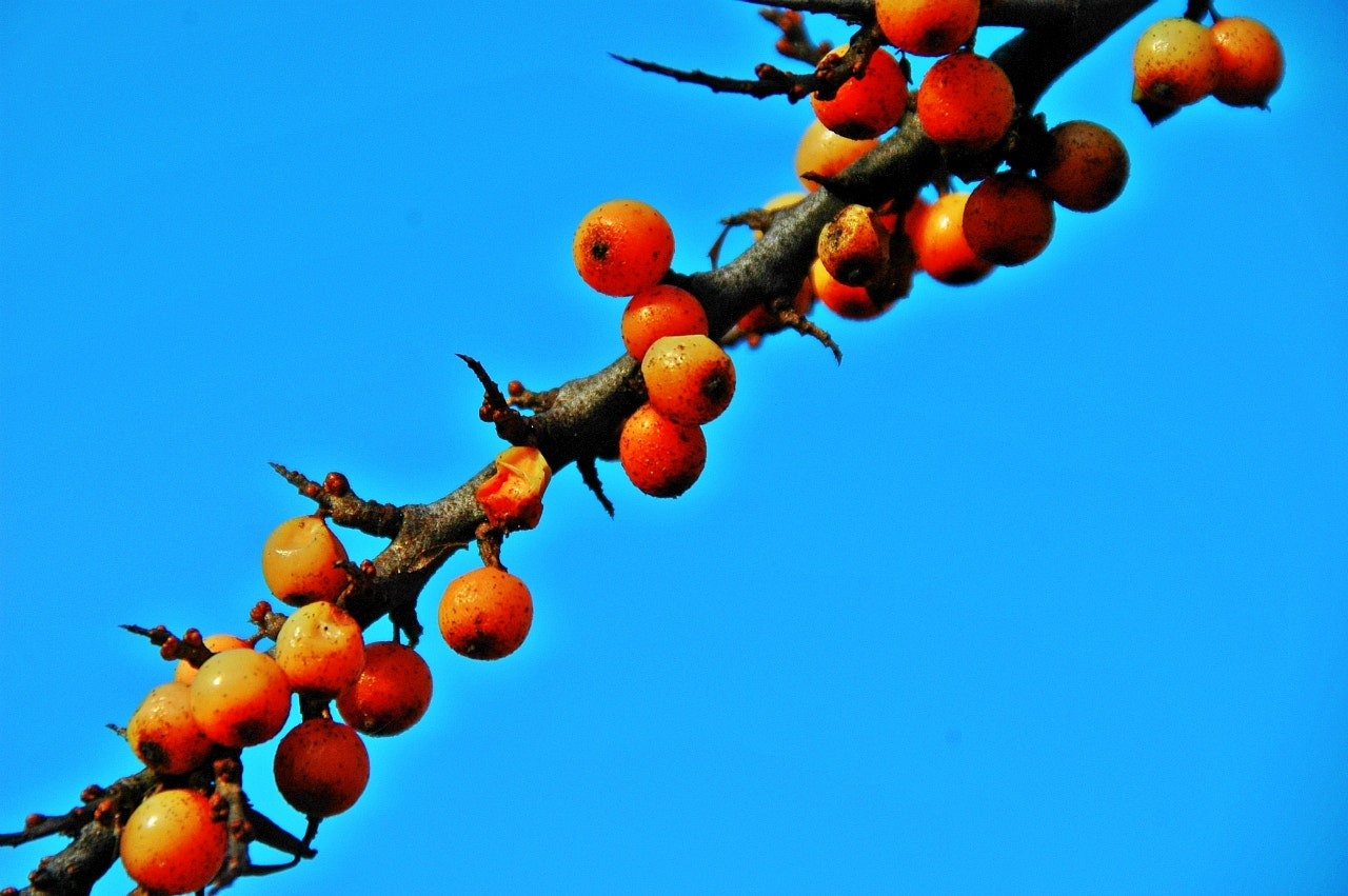 Photograph Orange berry by Sir Trauti on 500px