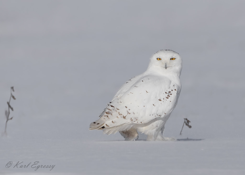 Photograph Snowy Owl by Karl Egressy on 500px