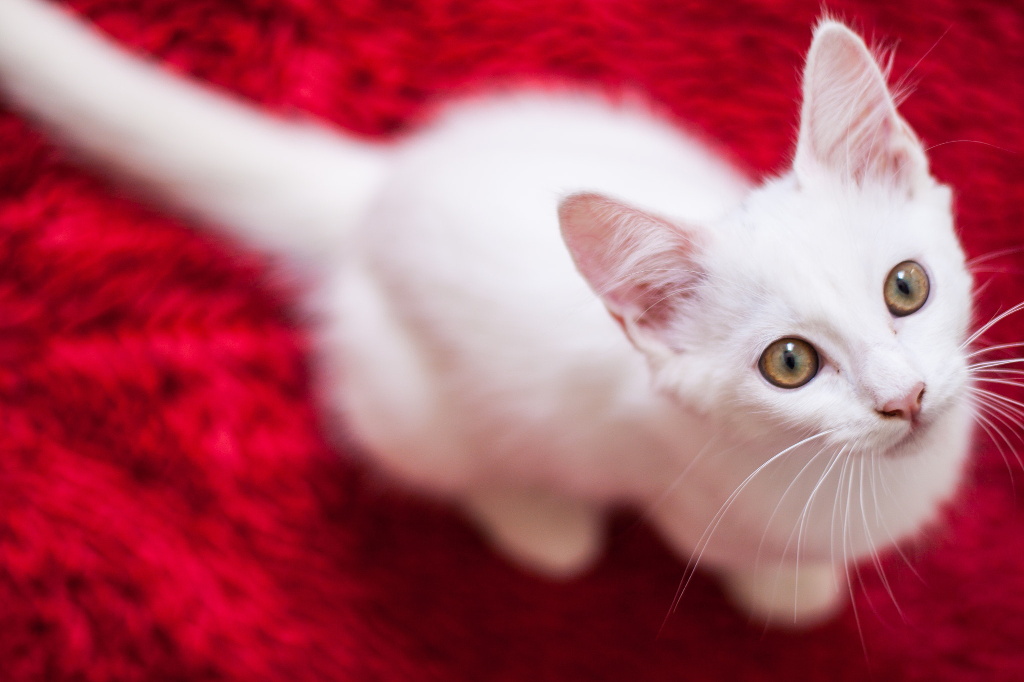 Photograph Cat with red by Gustavo Piazzarollo on 500px