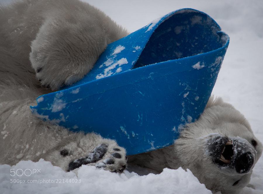 Can you ever get enough polar bears?
