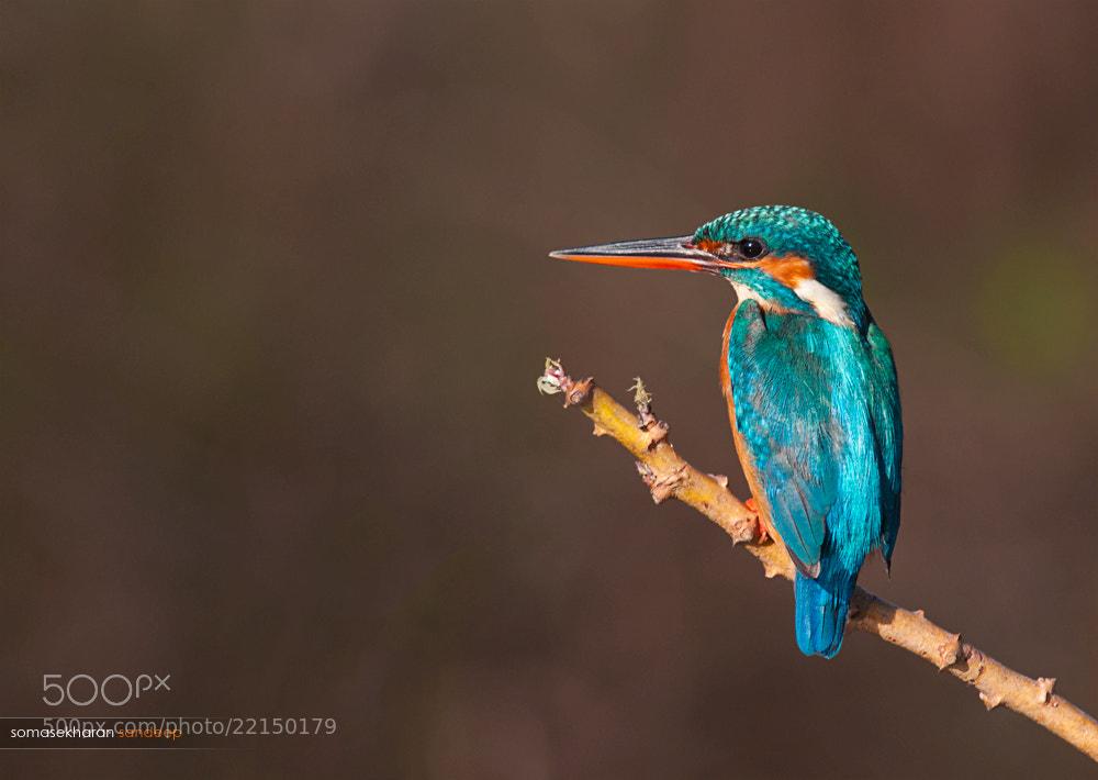 Photograph Common Kingfisher by Sandeep somasekharan on 500px
