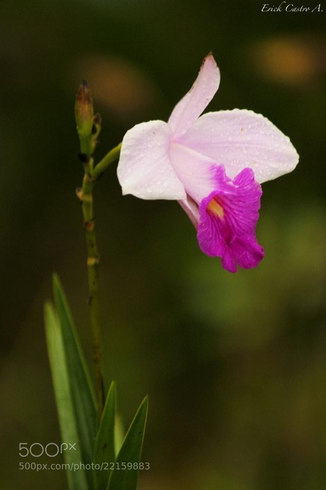 Photograph Orquídea by Erick Castro Alvarado on 500px