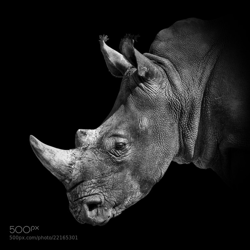 Photograph Rhinoceros by pixeldreamer  on 500px