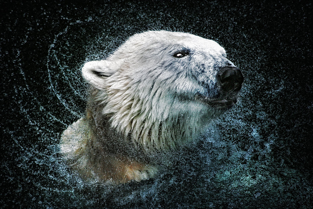 Photograph Ice Bear by Dr. David Wiese on 500px