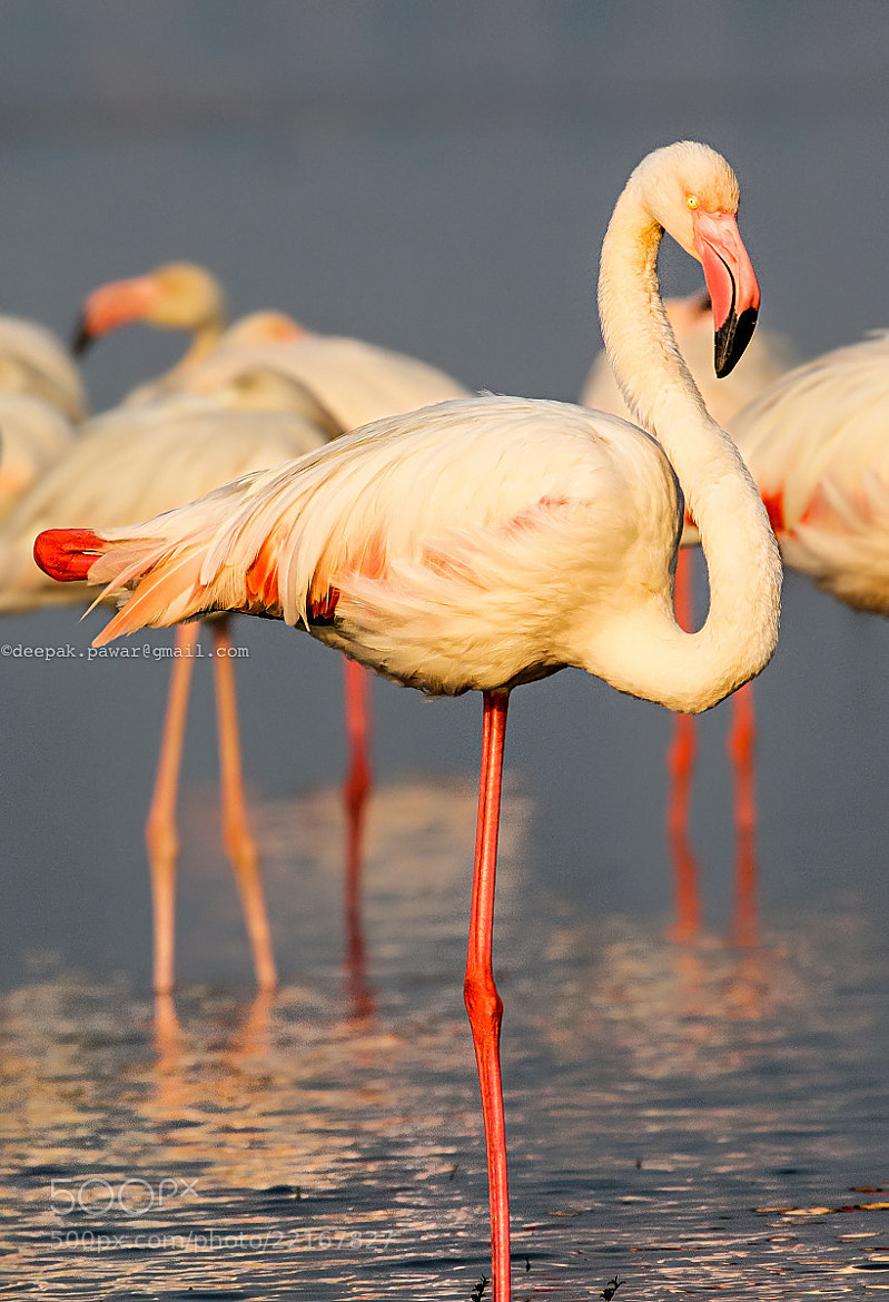 Photograph Yoga flamingo .. by Deepak Pawar on 500px