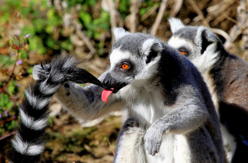 Photograph Ring-tailed lemur by Rainer Leiss on 500px