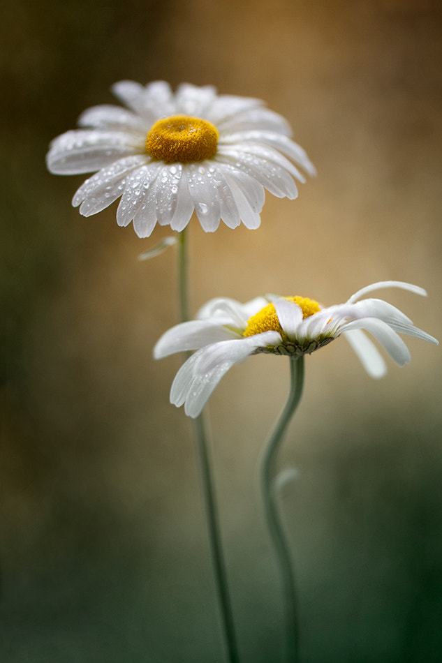 Photograph Daisies by Mandy Disher on 500px