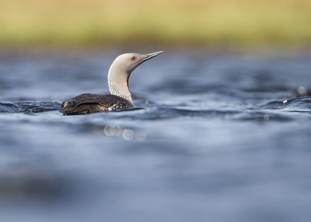 Photograph Red-throated Diver by Giedrius Stakauskas on 500px
