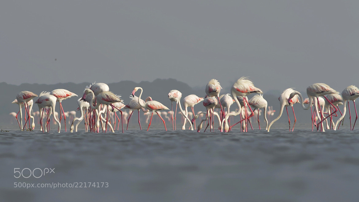Photograph Flamingoscape by Mohamed Mothi on 500px