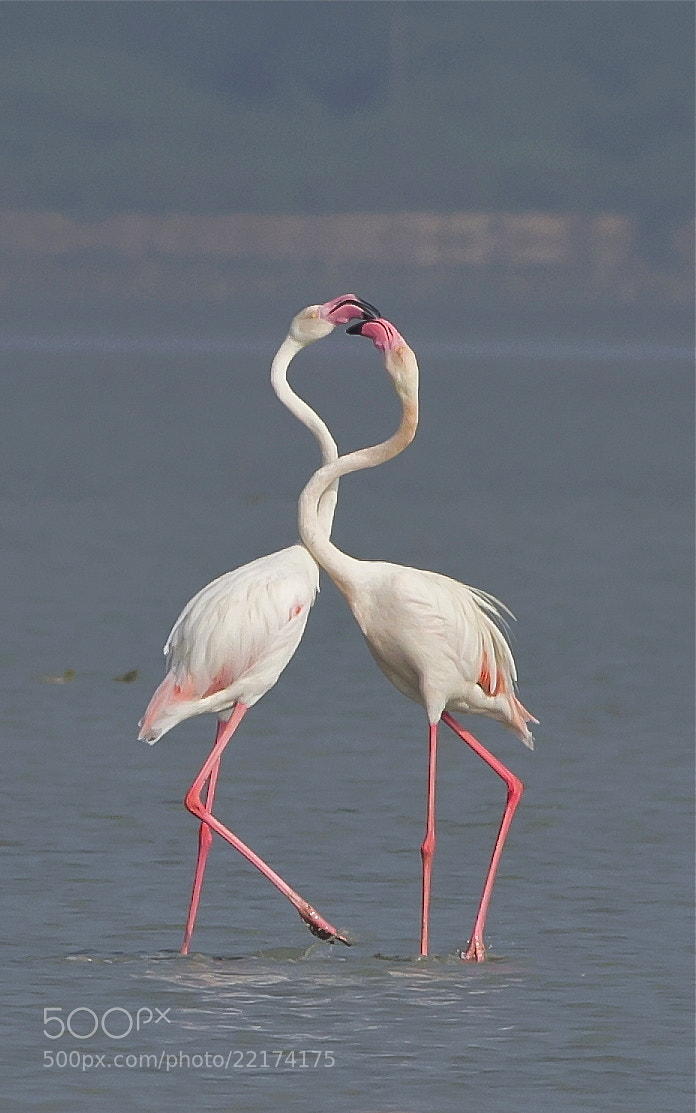 Photograph Flamingos' Love Story by Mohamed Mothi on 500px
